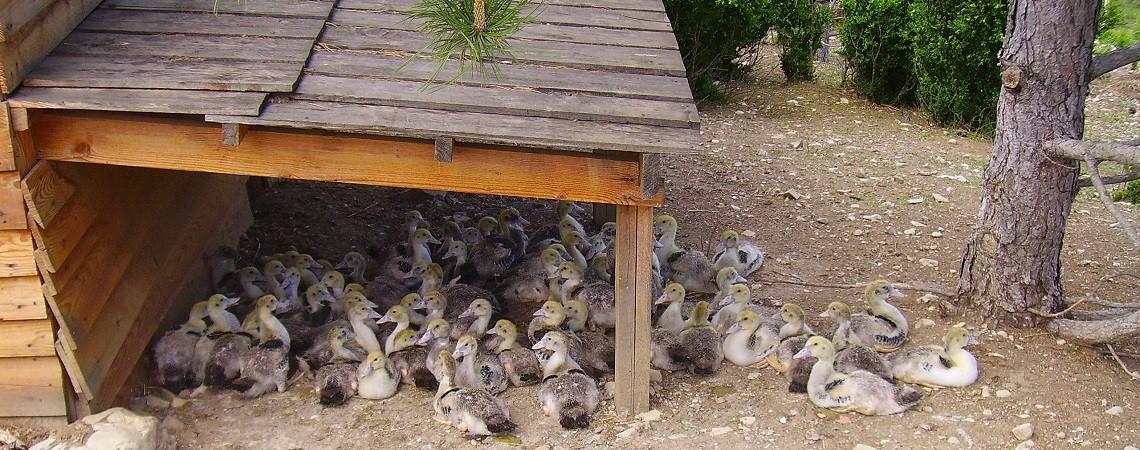 Sieste des canards